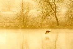Wild life. A wild duck flying over a pond early in the morning stock image