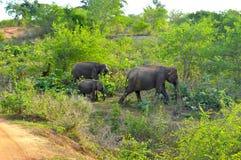 Wild Life. Elephant Family in National Park, Sri Lanka royalty free stock photography