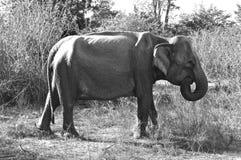 Wild Life. Elephant in National Park, Sri Lanka royalty free stock photo