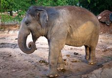 Wild life elephants in nature. royalty free stock images