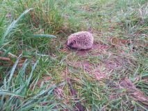 The wild life, in my garden, baby hedgehog Royalty Free Stock Photos