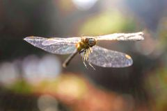 Dragon fly flying and sun flare. Wild life nature photography Royalty Free Stock Image