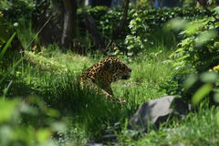 Wild life. This photo presents a jaguar before hunting stock photo