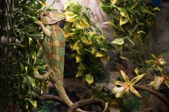 Wild life and reptiles concept. Exotic pet lizard in nature. Wild life and reptiles concept. Exotic pet lizard on natural green background. Chameleon rests on Stock Photo