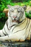 A wild life shot of a white tiger Stock Photos
