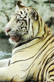 A wild life shot of a white tiger Stock Images