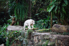 A wild life shot of a white tiger Stock Photography