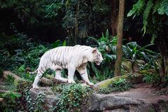A wild life shot of a white tiger Royalty Free Stock Images