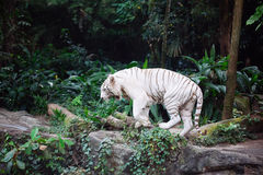 A wild life shot of a white tiger Stock Photo