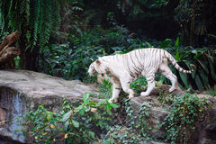 A wild life shot of a white tiger Royalty Free Stock Photos
