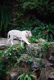 A wild life shot of a white tiger Stock Image
