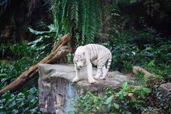 A wild life shot of a white tiger Royalty Free Stock Photo