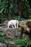 A wild life shot of a white tiger Royalty Free Stock Image