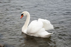 Wild Life. Swan on lake water, swans on pond Stock Photography
