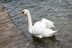 Wild Life. Swan on lake water, swans on pond Stock Photo