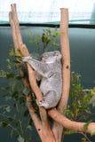 Koala, Phascolarctos cinereus. Wildlife Sydney Zoo. New South Wales. Australia Stock Photo