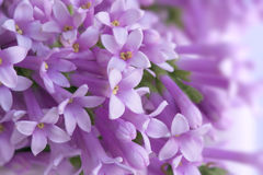 Wild Lilac Royalty Free Stock Photography