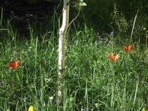 Wild lilies of Yakutia 5 Stock Photo