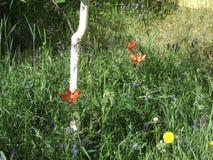 Wild lilies of Yakutia 7 Royalty Free Stock Image