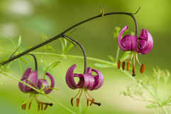 Wild lilium flowers Royalty Free Stock Photos