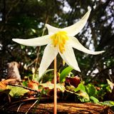 wild lilja arkivbild