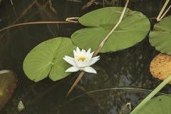 wild lilja Royaltyfri Bild