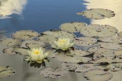 wild lilja Royaltyfria Bilder