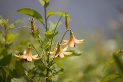 wild liljatiger Fotografering för Bildbyråer