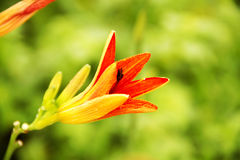 Wild lily Royalty Free Stock Photography