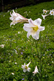 Wild lily flower blossom Royalty Free Stock Image