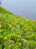 Wild lily flowers. Meadow on the sea coast Royalty Free Stock Photos