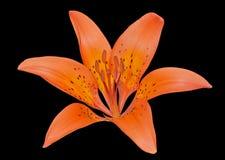 Wild lily (Lilium pensylvanicum) 4 Stock Image