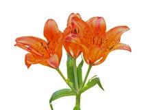 Wild lily (Lilium pensylvanicum) 12 Stock Image