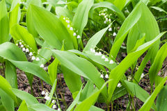 Wild lily of the valley in spring forest Stock Photos