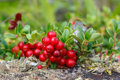 Wild lingonberry bush close up. Royalty Free Stock Images