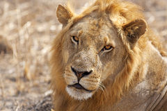 Wild lion Royalty Free Stock Photo