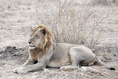 Wild lion Royalty Free Stock Photography