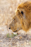 Wild lion Royalty Free Stock Image