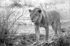 Wild lion Royalty Free Stock Images