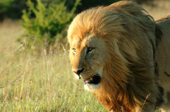 Wild lion royalty free stock image