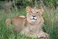 Wild Lion in African Grass Land. Enquisitive young male lion with beautiful brown eyes in long green grass Stock Images