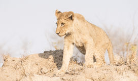 Wild Lion Cub op een Zandheuvel in Afrika stock foto