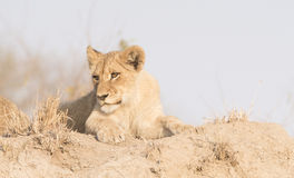 Wild Lion Cub on a Sand Hill in Africa Stock Photography