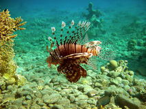 Wild lion fish Stock Photo