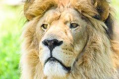 Wild Lion King Feline In Safari. Portrait Stock Photo