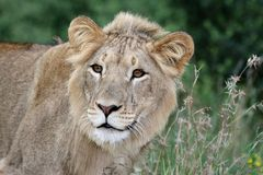 Wild Lion in Long Grasses Stock Images