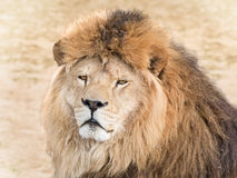 Wild lion Stock Photo