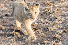Wild Lion (Panthera leo) Cubs Walking through Grass Royalty Free Stock Photography