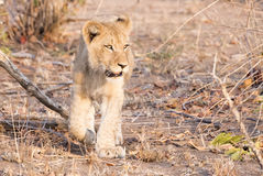 Wild Lion (Panthera leo) Cubs Walking through Grass Stock Photos