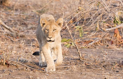Wild Lion (Panthera leo) Cubs Walking through Grass Stock Image